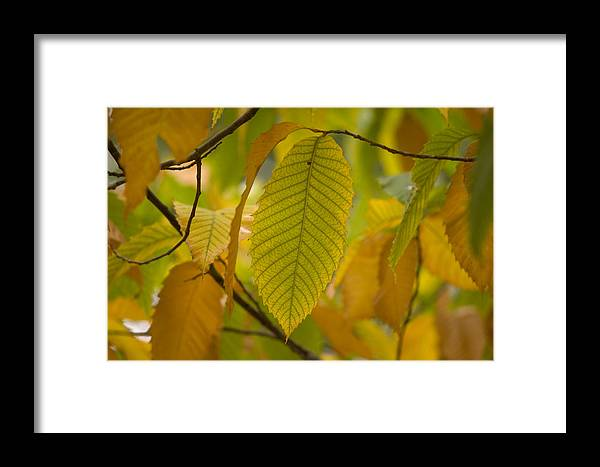 Nobody Framed Print featuring the photograph An American Chestnut Tree Castanea by Joel Sartore