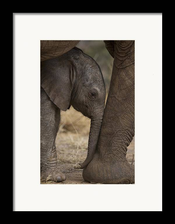 Outdoors Framed Print featuring the photograph An Elephant Calf Finds Shelter Amid by Michael Nichols