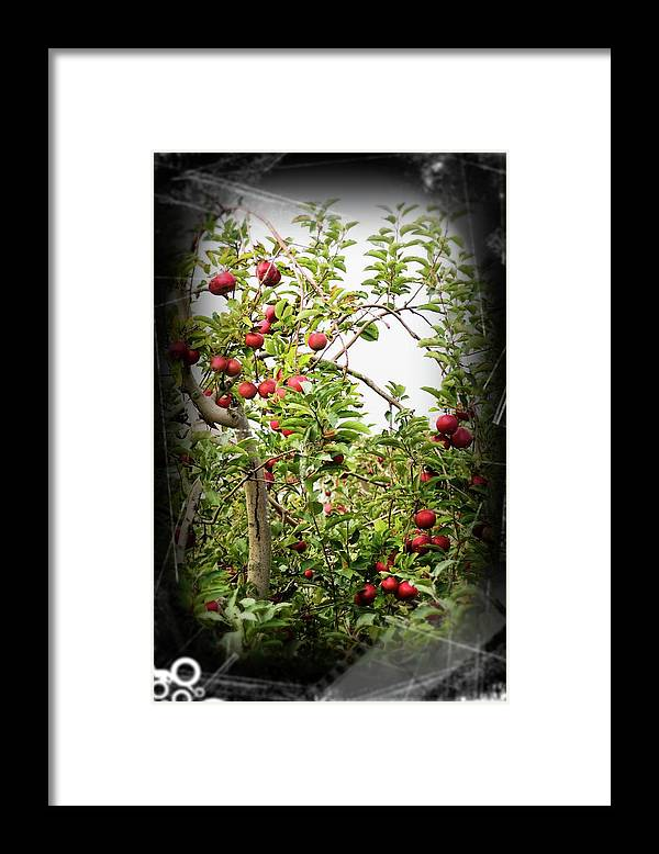 Apple Tree Framed Print featuring the photograph An Old Apple Tree by Randy J Heath