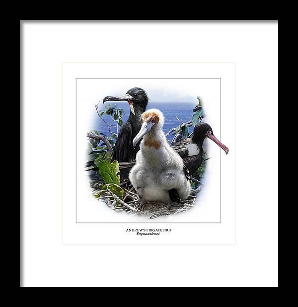 Digital Art Framed Print featuring the digital art Andrews Frigatebird Fregata Andrewsi 1 by Owen Bell