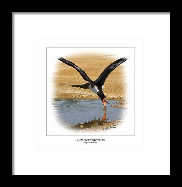 Digital Art Framed Print featuring the digital art Andrews Frigatebird Fregata Andrewsi 4 by Owen Bell