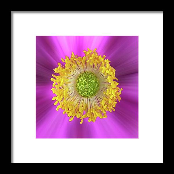 Beautiful Framed Print featuring the photograph Anemone Hupehensis 'hadspen by John Edwards