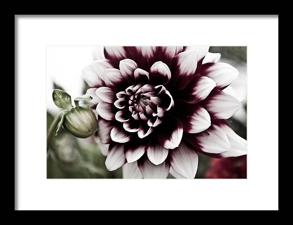 Flower Framed Print featuring the photograph Angel Shades by Chuck Alaimo