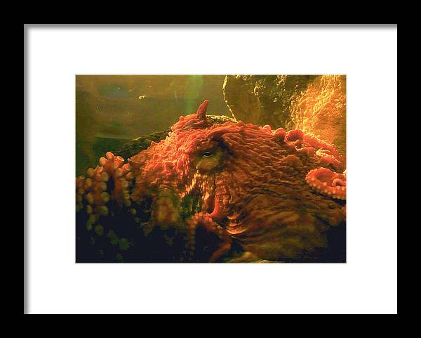 Octopus Framed Print featuring the photograph Angry Octopus by Lori Seaman