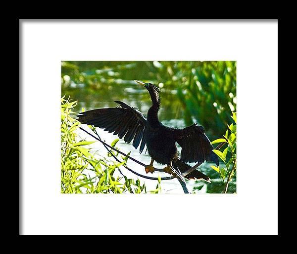 Bird Framed Print featuring the photograph Anhinga Stretching by Allan Einhorn