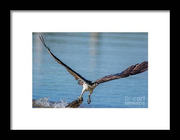 Osprey Framed Print featuring the photograph Animal - Bird - Osprey Catching A Fish by CJ Park