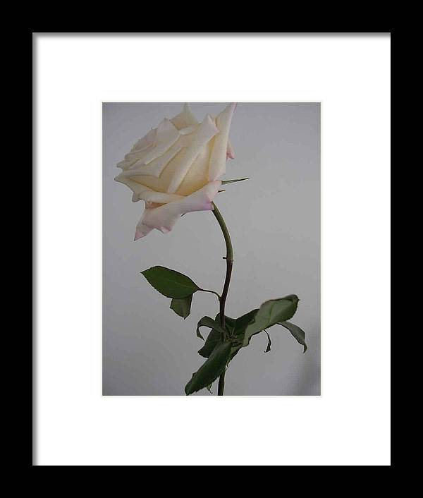 Floral Framed Print featuring the photograph Anna Rose by Nancy Ferrier