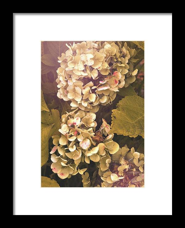 Hydrangea Framed Print featuring the photograph Annabelle by JAMART Photography