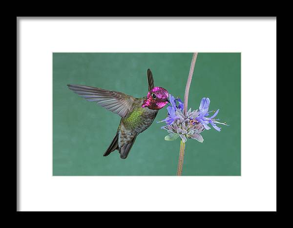 Anna's Hummingbird Framed Print featuring the photograph Anna's Clevelandia by Jim Frandeen