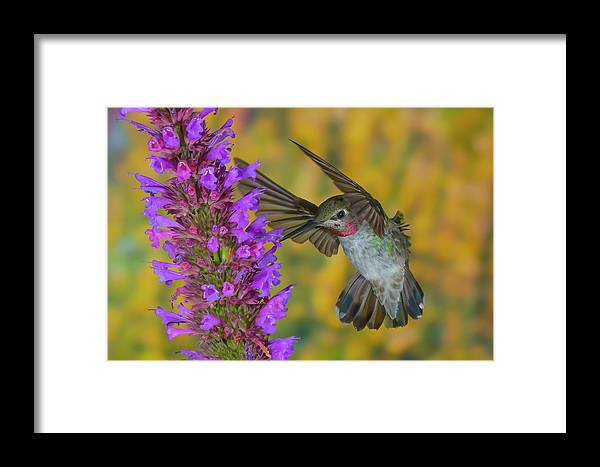 Framed Print featuring the photograph Anna's Femme Agastache by Jim Frandeen