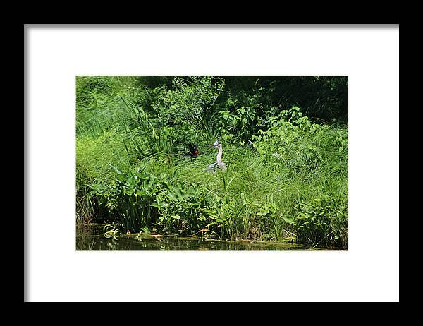 Marsh Framed Print featuring the photograph Annoyed - Heron and Red Winged Blackbird 5 of 10 by Colleen Cornelius