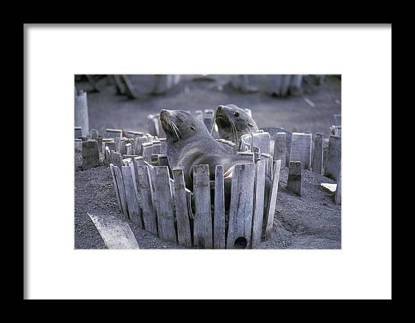 Antarctica Framed Print featuring the photograph Antarctic Fur Seals Dception Island by Brian Lockett