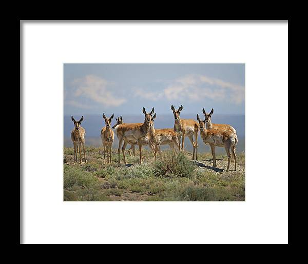 Antelope Framed Print featuring the photograph Antelope by Heather Coen