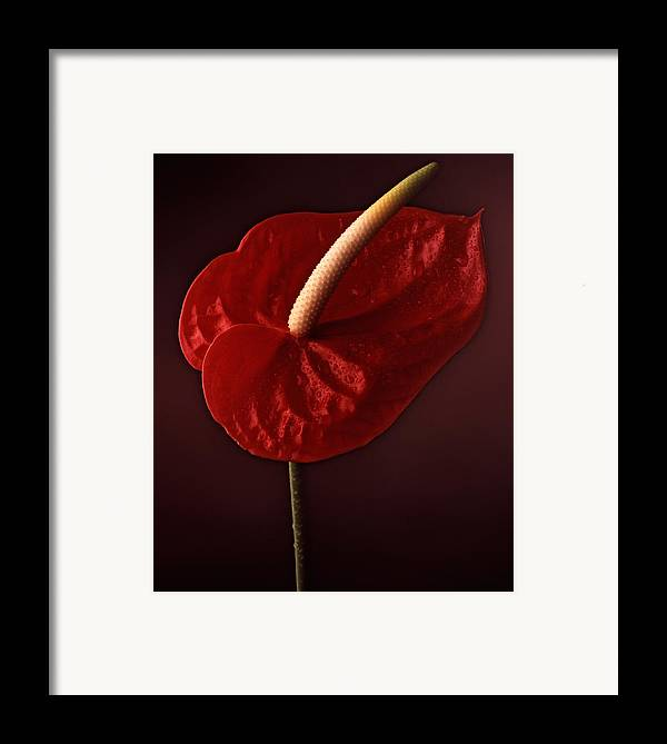 Still Life Framed Print featuring the photograph Anthurium by Joseph Gerges