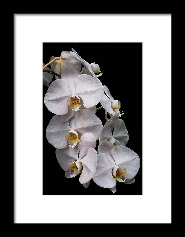 Orchid Framed Print featuring the photograph Aphrodite - White Orchid by Zina Stromberg