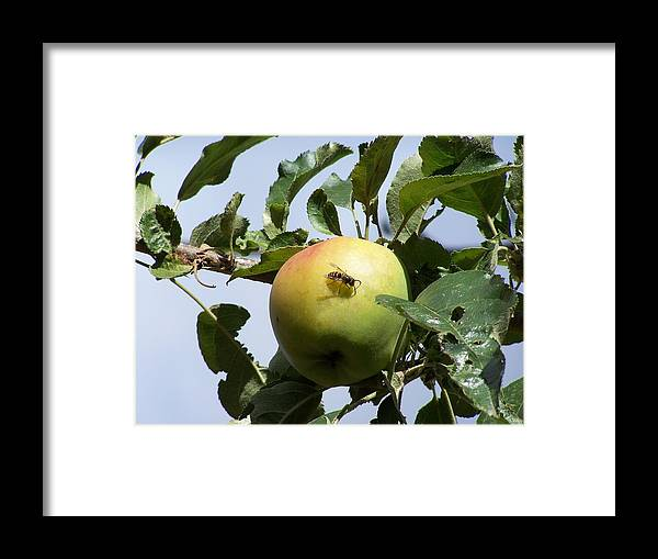 Apple Framed Print featuring the photograph Apple Bee by Gene Ritchhart