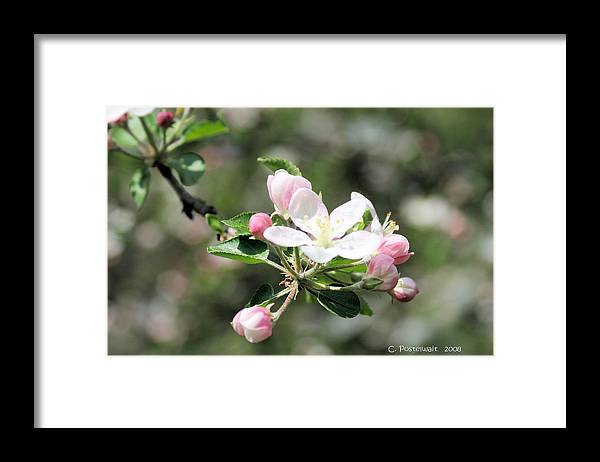 Apple Trees Framed Print featuring the photograph Apple Blossom by Carolyn Postelwait