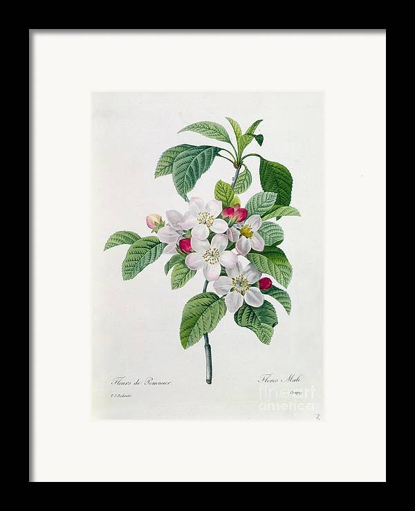 Apple Framed Print featuring the painting Apple Blossom by Pierre Joseph Redoute
