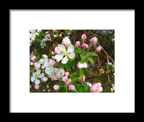 Blossoms Framed Print featuring the photograph Apple Blossom Pink by Peggy King