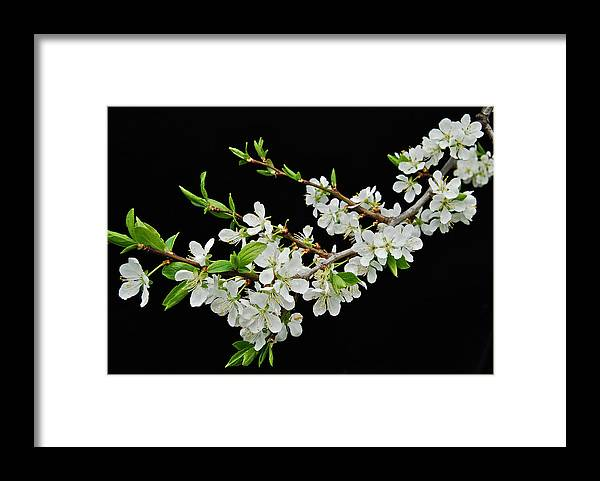 Apple Framed Print featuring the photograph Apple Blossoms 2 by Michael Peychich