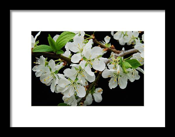 Apple Framed Print featuring the photograph Apple Blossoms 3 by Michael Peychich
