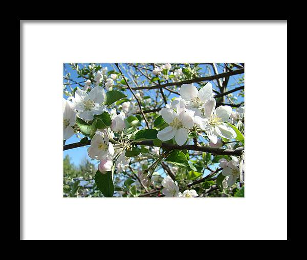 �blossoms Artwork� Framed Print featuring the photograph Apple Blossoms Art Prints 60 Spring Apple Tree Blossoms Blue Sky Landscape by Baslee Troutman