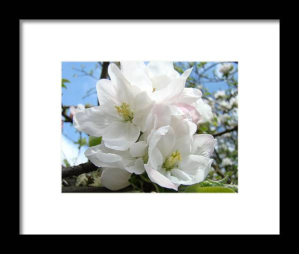 �blossoms Artwork� Framed Print featuring the photograph Apple Blossoms Art Prints Giclee 48 Spring Apple Tree Blossoms Blue Sky Macro Flowers by Baslee Troutman