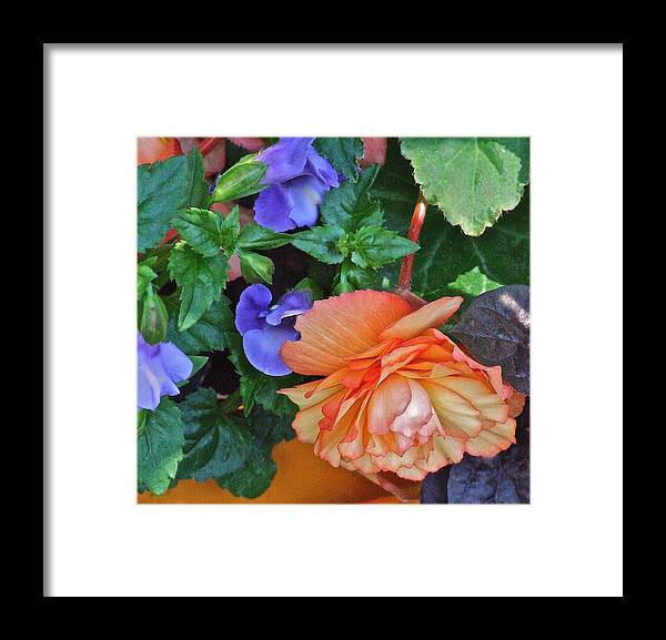 Begonia. Garden Flower Framed Print featuring the photograph Apricot Begonia 1 by Janis Nussbaum Senungetuk