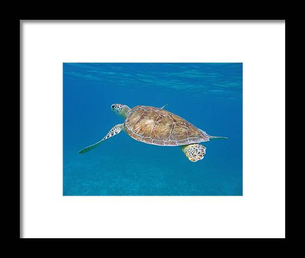 Green Sea Turtle Framed Print featuring the photograph Aqua Glider by Kimberly Mohlenhoff