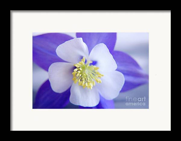 Nature Framed Print featuring the photograph Aquilegia by Julia Hiebaum