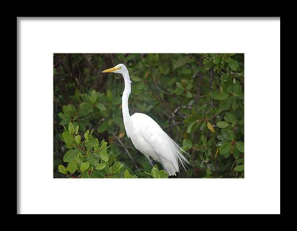 Crane Arch Long Neck White Jamaica Black River Framed Print featuring the photograph Archy by Cheryl Burke