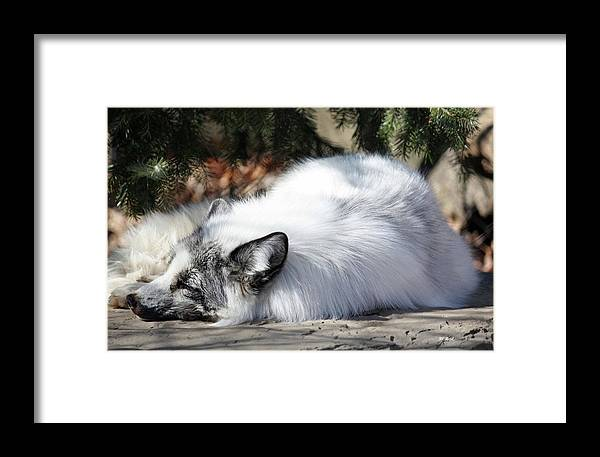 Maryland Framed Print featuring the photograph Arctic Fox by Ronald Reid