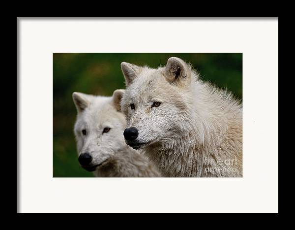 Michael Cummings Framed Print featuring the photograph Arctic Wolf Pair by Michael Cummings