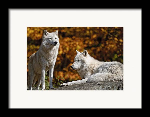 Michael Cummings Framed Print featuring the photograph Arctic Wolves On Rocks by Michael Cummings