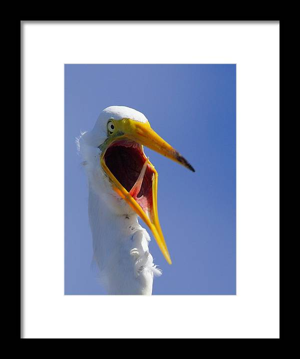 Great Egret Framed Print featuring the photograph Are You Serious by Andrew McInnes
