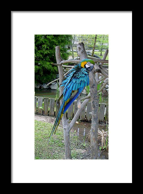 Blue Framed Print featuring the photograph Arent I a Handsome Fellow - Blue and Gold Macaw by Suzanne Gaff