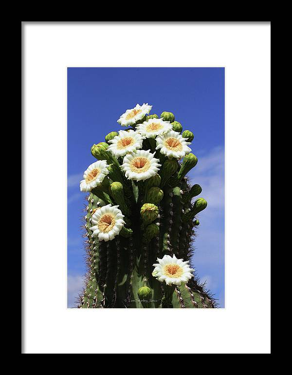 Arizona State Flower- The Saguaro Cactus Flower Framed Print featuring the photograph Arizona State Flower- The Saguaro Cactus Flower by Tom Janca