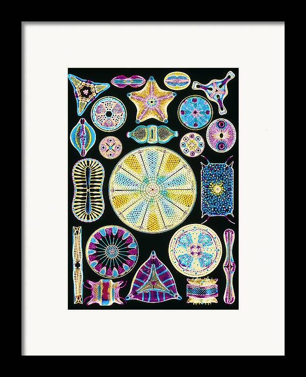 Centric Diatom Framed Print featuring the photograph Art Of Diatom Algae (from Ernst Haeckel) by Mehau Kulyk