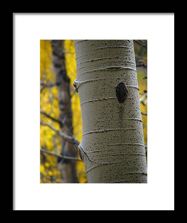Aspens Framed Print featuring the photograph Aspen In Fall by Jeff White