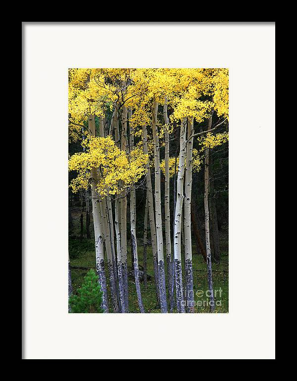 Aspens Framed Print featuring the photograph Aspen Stand by Timothy Johnson