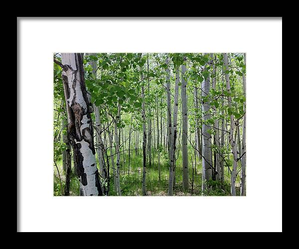 Framed Print featuring the photograph Aspen Trees Colorado by Karen Terese