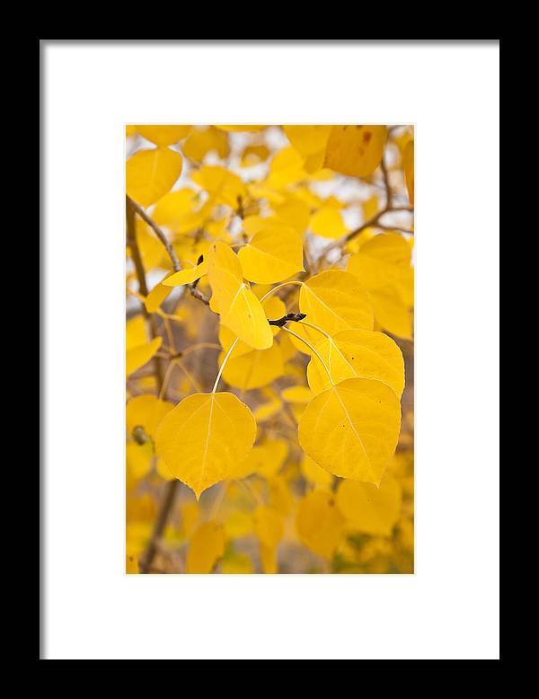 California Framed Print featuring the photograph Aspen Yellow by Greg Clure