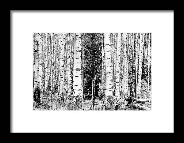 Black And White Framed Print featuring the photograph Aspens And The Pine Black And White Fine Art Print by James BO Insogna