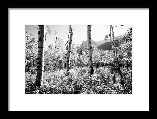 Landscape Framed Print featuring the photograph Aspens Black And White by Caroline Clark