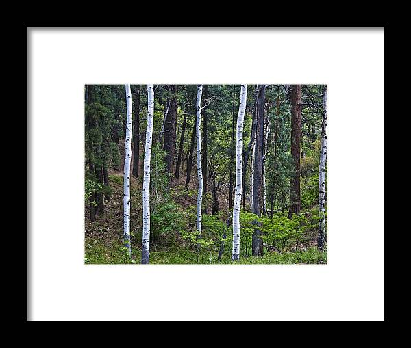 Aspens Framed Print featuring the photograph Aspens In The Woods by Neil Doren