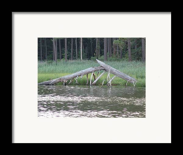 Bay Framed Print featuring the photograph Assawoman Tree by Kevin Callahan