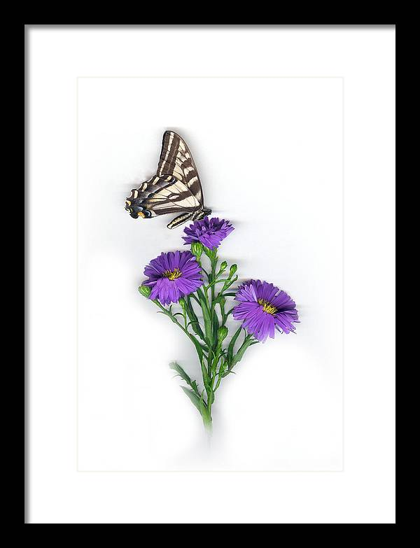 Aster Flower Framed Print featuring the mixed media Aster and Butterfly by Sandi F Hutchins