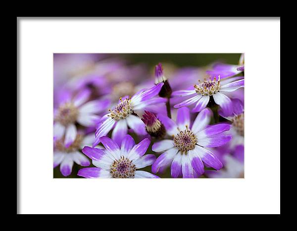Aster Framed Print featuring the photograph Aster Delights by Vanessa Thomas