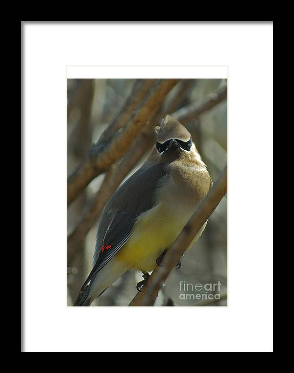 Cedar Waxwing Framed Print featuring the photograph Attitude II by Michelle Hastings