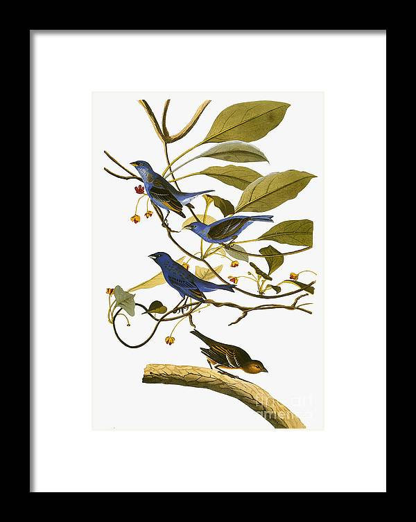 1827 Framed Print featuring the photograph Audubon: Bunting, 1827-38 by Granger